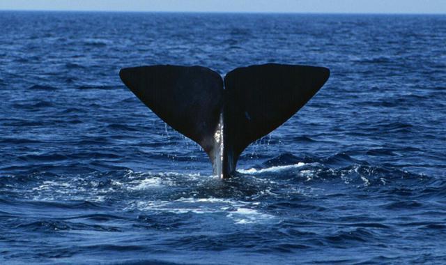 """Un cetaceo con la """"O"""": capodoglio!"""